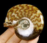 "2.5"" Ammonite Fossil Carved Crystal Skull"