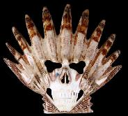 "Huge 5.0"" Scallop Shell Carved Crystal Skull Mask"